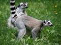 Lemurs on the grass Stock Images