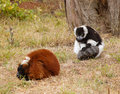 Lemurs on the grass Royalty Free Stock Photography