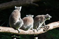Lemurs three in a row sitting ring tailed Stock Photos