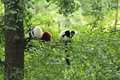Lemurs on tree the one red ruffed lemur and couple of black and white the Royalty Free Stock Photo
