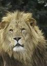 León masculino Imagen de archivo