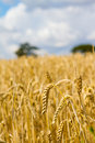 Length of wheat in a farmers field Royalty Free Stock Images