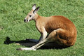Lengthened kangaroo Royalty Free Stock Image