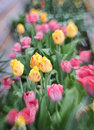 Lensbaby spring tulips a row of yellow and pink taken with a lens Stock Photo