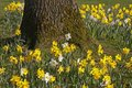 Lent lilies, Daffodils in spring, Germany Royalty Free Stock Photo