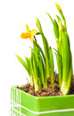Lent lily Stock Photography