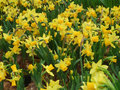 Lent lily flowers lots of yellow wild daffodil Stock Photos
