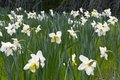 Lent lily in full bloom Royalty Free Stock Photo