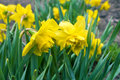 Lent lily, Narcissus pseudonarcissus Royalty Free Stock Photo