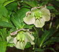 Lenten rose Royalty Free Stock Photos