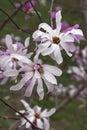 Leonard Messel loebner magnolia flowers Royalty Free Stock Photo