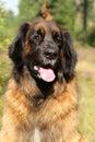Leonberger big dog Royalty Free Stock Photo