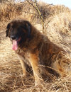 Leonberger dog Royalty Free Stock Image