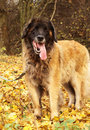 Leonberger dog Royalty Free Stock Photos