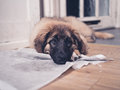 Leonberger puppy with head on dirty training pad Royalty Free Stock Photo