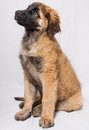 A Leonberger puppy Royalty Free Stock Photo