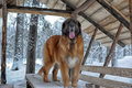 Leonberger in winter landscape Royalty Free Stock Photo