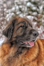 Leonberger a young posing against the background of a winter landscape Royalty Free Stock Image