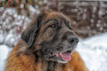 Leonberger a young posing against the background of a winter landscape Stock Images