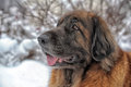 Leonberger a young posing against the background of a winter landscape Stock Image