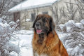 Leonberger a young posing against the background of a winter landscape Royalty Free Stock Images