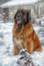 Leonberger a young posing against the background of a winter landscape Stock Photography