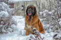 Leonberger a young posing against the background of a winter landscape Stock Photo
