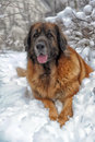 Leonberger a young posing against the background of a winter landscape Royalty Free Stock Photo
