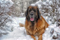 Leonberger a young posing against the background of a winter landscape Royalty Free Stock Photos