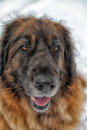Leonberger a young posing against the background of a winter landscape Royalty Free Stock Photography