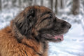 Leonberger Royalty Free Stock Photo
