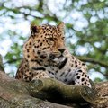 Leopard 9 Royalty Free Stock Images