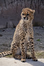 Leopard acinonyx jubatus stand on the floor Royalty Free Stock Photos
