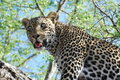 Leopard in Africa Stock Photo
