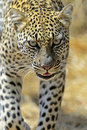 Leopard african in samburu national park kenya Royalty Free Stock Images