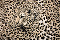 Leopard background Royalty Free Stock Photos