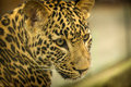 Leopard beast detail mammal Royalty Free Stock Photography