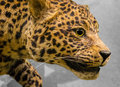 Leopard big cat wild african Stock Photography