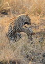 Leopard big spotted cat playing Stock Image