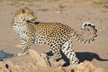 Leopard big spotted cat standing Stock Image