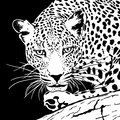Leopard on a branch head in black and white colors Royalty Free Stock Photo
