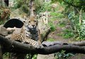 Leopard a on a branch stares down its prey Stock Images