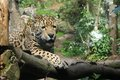 Leopard a on a branch stares down its prey Royalty Free Stock Photography
