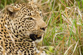 Leopard in the Bush in South Africa Royalty Free Stock Images