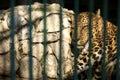 Leopard in captivity Royalty Free Stock Photo