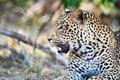 Leopard close up Royalty Free Stock Photography