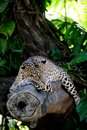 Leopard a close up shot of an african Royalty Free Stock Photography