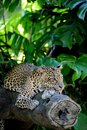 Leopard a close up shot of an african Royalty Free Stock Image