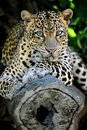 Leopard a close up shot of an african Stock Photography