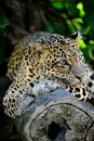 Leopard a close up shot of an african Stock Photo
